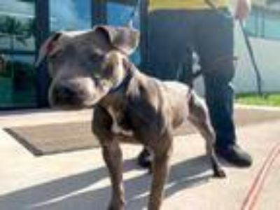 Adopt MILDRED a Pit Bull Terrier, Mixed Breed