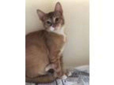 Adopt Pat a Domestic Short Hair