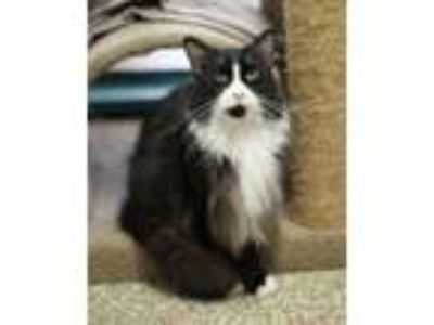 Adopt Sylvester a Norwegian Forest Cat, Domestic Long Hair