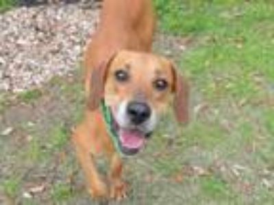 Adopt COUNTRY a English Coonhound, Mixed Breed