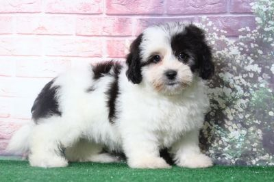 Lhasa-Poo PUPPY FOR SALE ADN-95887 - Razz Perfect Female LhasaPoo Puppy