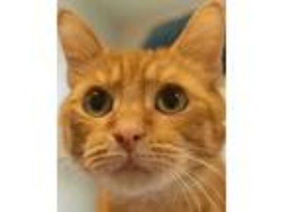 Adopt Sparky a Orange or Red Domestic Shorthair / Domestic Shorthair / Mixed cat