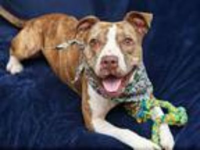 Adopt NESSE a Brindle - with White American Pit Bull Terrier / Mixed dog in