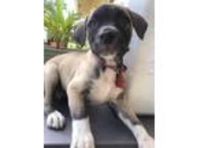 Adopt Dotty a Labrador Retriever, Boxer