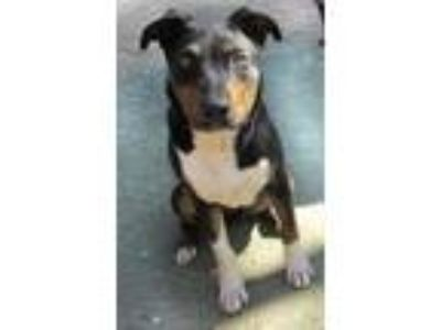 Adopt Roxx (Courtesy Post) a Labrador Retriever / Border Collie / Mixed dog in