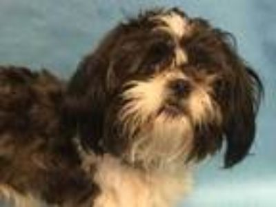 Adopt 41715091 a Black Shih Tzu / Mixed dog in Golden Valley, MN (25321515)