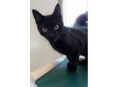 Adopt Alexander a All Black Domestic Shorthair / Domestic Shorthair / Mixed cat