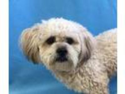 Adopt 41735090 a White Poodle (Miniature) / Mixed dog in St. Paul, MN (25331336)