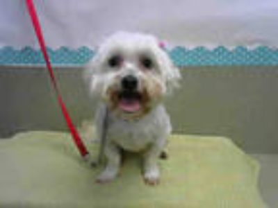 Adopt LILY a White Terrier (Unknown Type, Medium) / Mixed dog in Moreno Valley