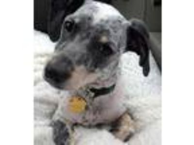 Adopt Phinneas (formerly CTDR Bandit) a White - with Black Dachshund / Mixed dog
