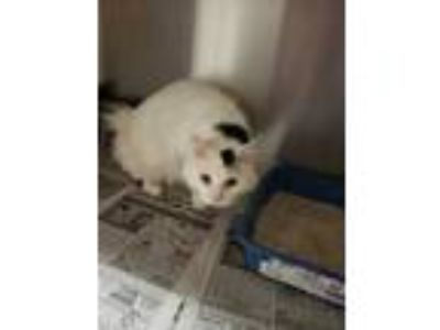 Adopt Thor a White Domestic Longhair / Domestic Shorthair / Mixed cat in