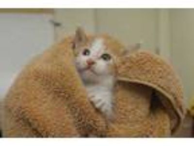 Adopt 57712 Ducky a Orange or Red Domestic Shorthair / Domestic Shorthair /