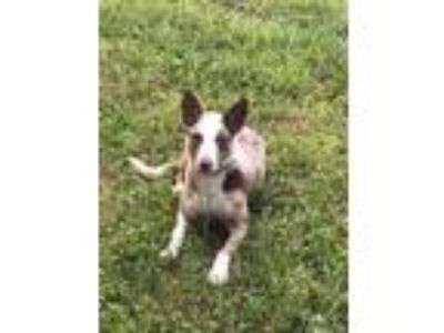 Adopt Hazel Blue Eyes a White Cattle Dog / Catahoula Leopard Dog / Mixed dog in