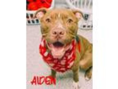 Adopt Aiden a Brown/Chocolate American Pit Bull Terrier / Labrador Retriever /