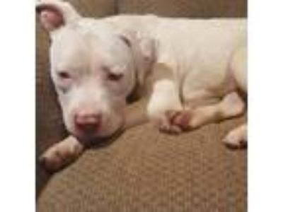 Adopt Spencer a White - with Brown or Chocolate Pit Bull Terrier / Mixed dog in