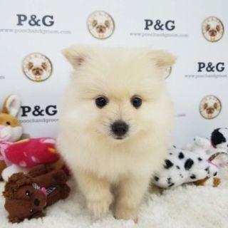 Pomeranian PUPPY FOR SALE ADN-91980 - POMERANIAN ROY MALE