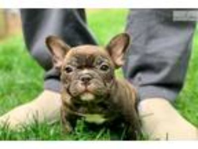 Meet Simba! Our gorgeous French Bulldog Male Pup