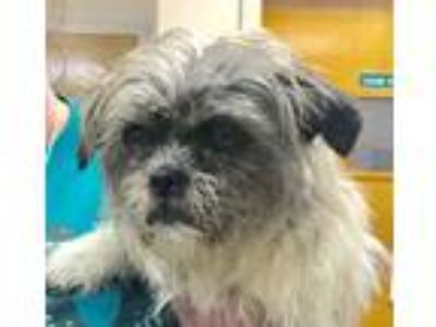 Adopt Ceely a Gray/Silver/Salt & Pepper - with White Shih Tzu / Mixed dog in