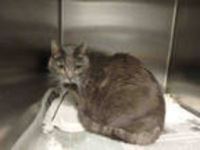 Adopt MAMA CAT a Gray or Blue Domestic Shorthair / Mixed (short coat) cat in Los