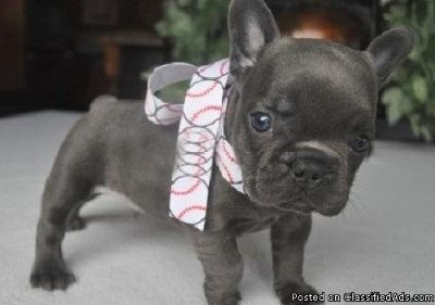 Effective French Bulldog Puppies