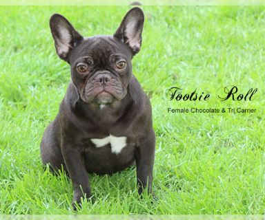 French Bulldog PUPPY FOR SALE ADN-121965 - Akc Chocolate Female French Bulldog