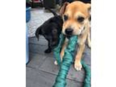 Adopt PEDRO a Brown/Chocolate - with Black Labrador Retriever / Husky dog in
