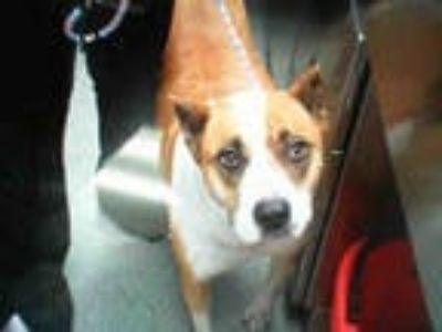Adopt THUNDA a Brown/Chocolate - with White Boxer / Mixed dog in Dallas