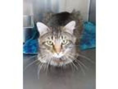 Adopt Rufus a Brown Tabby Maine Coon / Mixed (short coat) cat in Carrollton
