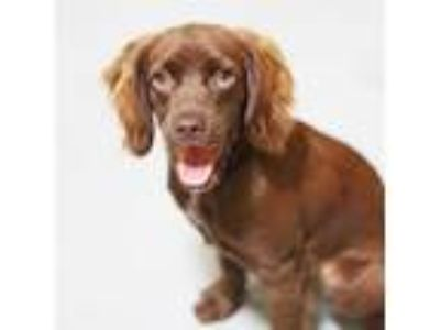 Adopt Hershey a Brown/Chocolate Cocker Spaniel / Xoloitzcuintle/Mexican Hairless