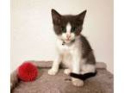 Adopt Perry a Domestic Short Hair