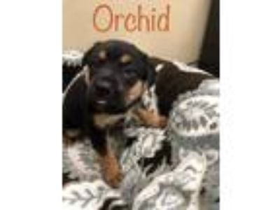 Adopt Orchid a Black Shepherd (Unknown Type) / Mixed dog in Buellton