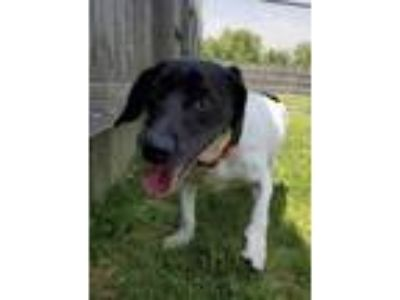 Adopt Star a White Dachshund / English Springer Spaniel / Mixed dog in