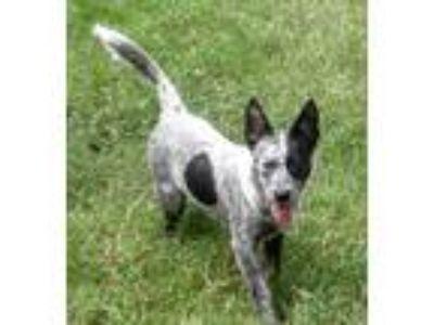 Adopt Haley a White - with Black Australian Cattle Dog / Australian Cattle Dog