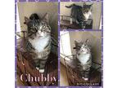 Adopt Chubby a Domestic Short Hair