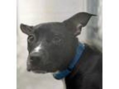 Adopt Tootie a Black American Pit Bull Terrier / Mixed dog in Washington