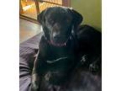 Adopt Dallas a Labrador Retriever