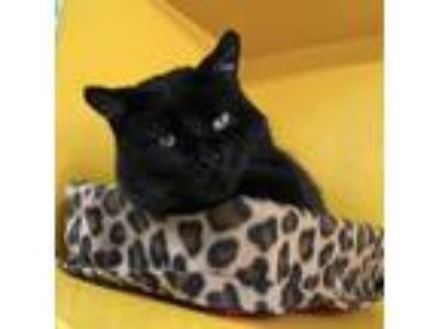 Adopt Zuma a All Black Domestic Shorthair cat in Northbrook, IL (25093311)