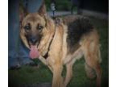 Adopt Coco a Brown/Chocolate - with Black German Shepherd Dog / Mixed dog in
