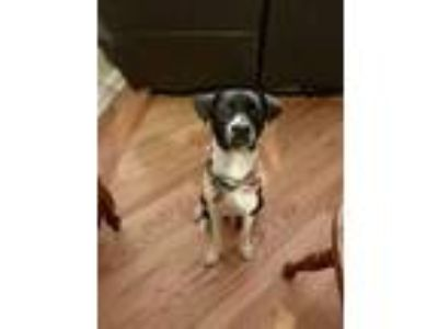 Adopt Venom a Boston Terrier, Beagle