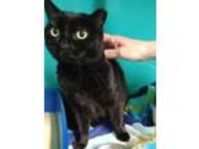 Adopt Onyx a All Black Domestic Shorthair / Domestic Shorthair / Mixed cat in