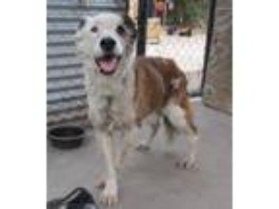 Adopt Poncho a Australian Shepherd / Mixed dog in San Diego, CA (24497276)