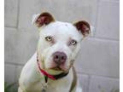 Adopt MAGENTA a White - with Brown or Chocolate American Pit Bull Terrier /