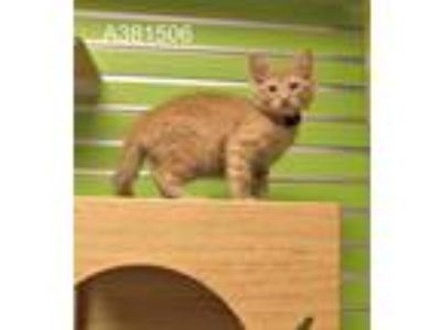 Adopt a Orange or Red Tabby Domestic Longhair / Mixed (long coat) cat in St.