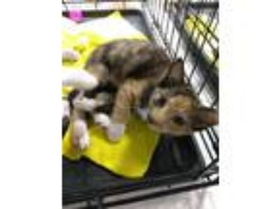 Adopt Honda a Calico or Dilute Calico Domestic Shorthair (short coat) cat in