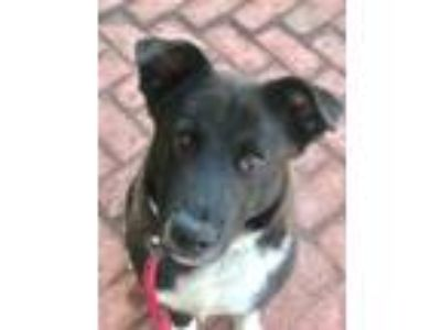 Adopt Tempo a Labrador Retriever, Border Collie