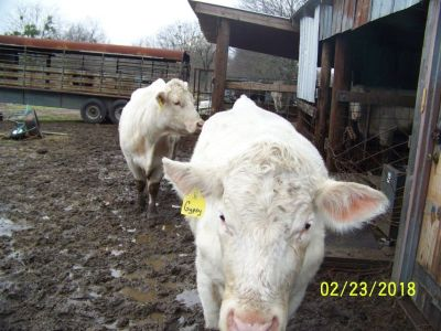 Charolais Cows Registered