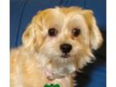 Adopt Jenny a Shih Tzu, Yorkshire Terrier