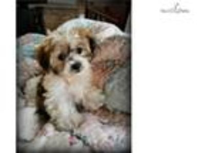 Non-Shedding Teddy Bear (shih tzu/bichon) Puppies