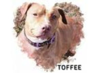 Adopt Toffee a Pit Bull Terrier