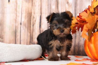 Yorkshire Terrier PUPPY FOR SALE ADN-104945 - Lincoln Cuddly Little Male Yorkie Puppy